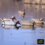NEW BANDED  FLOATING GREEN WING TEAL DUCK DECOYS 6 PACK